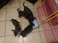Mixed Puppies for sale in Phoenix, AZ, USA. price: NA