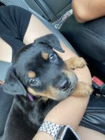 Mixed Puppies for sale in Arlington, TX, USA. price: NA