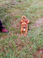Mixed Puppies for sale in Cullman, AL, USA. price: NA