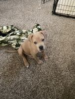 Mixed Puppies for sale in Fort Worth, TX, USA. price: NA