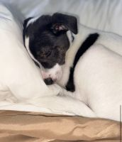 Mixed Puppies for sale in Danbury, CT, USA. price: NA