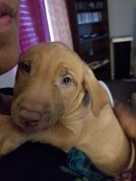 Mixed Puppies for sale in Lawrenceville, GA, USA. price: NA