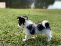 Mixed Puppies for sale in Pinehurst, NC, USA. price: NA