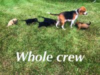 Mixed Puppies for sale in Liberty, TX, USA. price: NA
