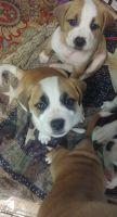 Mixed Puppies for sale in Port Orchard, WA 98367, USA. price: NA