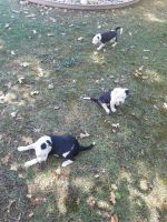 Mixed Puppies for sale in Rocklin, CA 95765, USA. price: NA