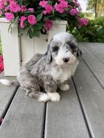 Mixed Puppies for sale in Plain City, OH 43064, USA. price: NA
