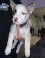 Mixed Puppies for sale in Bell Gardens, CA 90201, USA. price: NA