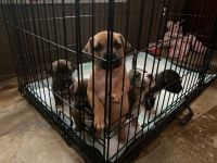 Mixed Puppies for sale in North Chesterfield, VA 23237, USA. price: NA