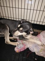 Mixed Puppies for sale in Philadelphia, PA, USA. price: NA