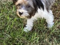 Mixed Puppies for sale in Crossville, TN, USA. price: NA