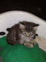 Mixed Cats for sale in St. Louis, MO, USA. price: NA