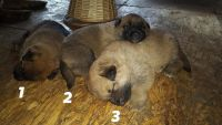 Mixed Puppies for sale in Homer, AK, USA. price: NA