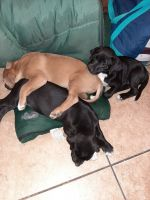 Mixed Puppies for sale in Henderson, NV, USA. price: NA