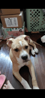 Mixed Puppies for sale in Fort Worth, TX 76115, USA. price: NA