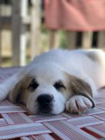 Mixed Puppies for sale in 252 N Burl Ave, Fresno, CA 93727, USA. price: NA