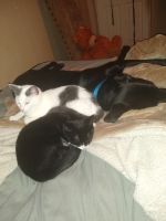 Mixed Cats for sale in Rocky Mount, VA 24151, USA. price: NA