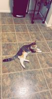 Mixed Cats for sale in Reading, PA 19610, USA. price: NA