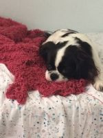 Mixed Puppies for sale in Canada, KY 41519, USA. price: NA