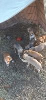 Mixed Puppies for sale in Crockett, TX 75835, USA. price: NA