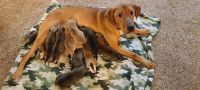 Mixed Puppies for sale in Coal City, IL, USA. price: NA
