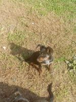 Mixed Puppies for sale in Albemarle, NC, USA. price: NA
