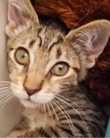Mixed Cats for sale in Marysville, WA, USA. price: NA