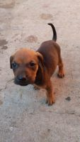 Mixed Puppies for sale in Chula Vista, CA 91911, USA. price: NA