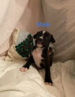 Mixed Puppies for sale in Henryville, IN, USA. price: NA