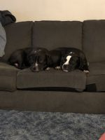 Mixed Puppies for sale in Springfield, MA, USA. price: NA