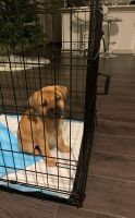 Mixed Puppies for sale in Midlothian, TX, USA. price: NA