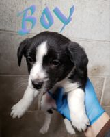 Mixed Puppies for sale in Milford Charter Twp, MI, USA. price: NA