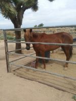 Mixed Horses for sale in Hesperia, CA, USA. price: NA