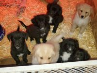 Mixed Puppies for sale in Blanchard, ID 83804, USA. price: NA