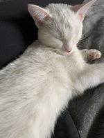 Mixed Cats for sale in Island Lake, IL, USA. price: NA