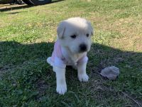 Mixed Puppies for sale in Lewisville, TX, USA. price: NA