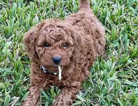 Mixed Puppies for sale in Stuart, FL 34994, USA. price: NA