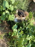 Mixed Cats for sale in San Diego, CA, USA. price: NA