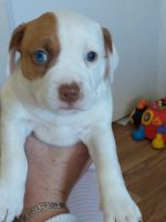 Mixed Puppies for sale in Fernley, NV, USA. price: NA
