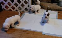 Mixed Puppies for sale in Burleson, TX 76028, USA. price: NA