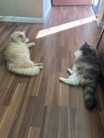 Mixed Cats for sale in 5842 Kingsley Cir, Oakland, CA 94605, USA. price: NA