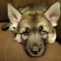 Mixed Puppies for sale in Brooklyn, NY, USA. price: NA
