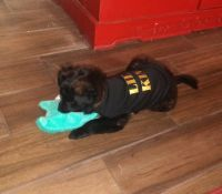Mixed Puppies for sale in Holiday, FL, USA. price: NA