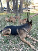 Mixed Puppies for sale in Cypress, TX, USA. price: NA