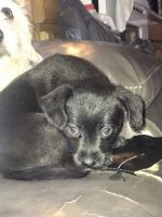 Mixed Puppies for sale in Raleigh, NC, USA. price: NA