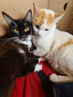 Mixed Cats for sale in Lancaster, CA, USA. price: NA