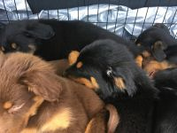 Mixed Puppies for sale in 850 Stone St, Corpus Christi, TX 78418, USA. price: NA