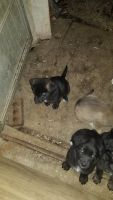 Mixed Puppies for sale in Oxford, NC 27565, USA. price: NA