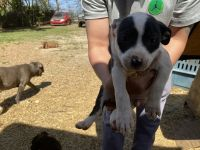 Mixed Puppies for sale in Memphis, TN, USA. price: NA