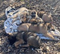 Mixed Puppies for sale in Maineville, OH 45039, USA. price: NA